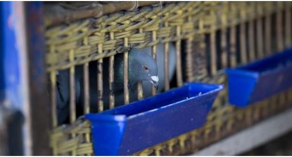 Colectare porumbei și transport către România